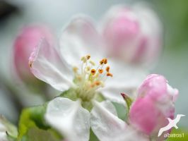 Apple Blossom by albatros1