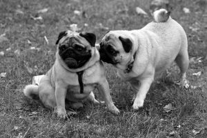 pug party by HollyHuntington
