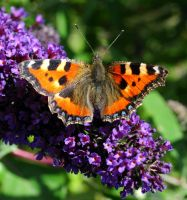 July Butterfly by Forestina-Fotos