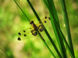 Dragonfly II by caitlinwithasea