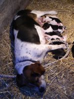 Beagle Mother n Pups Stock by galianogangster