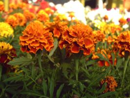 Orange Flowers by vukery