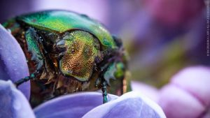 Green Rose Chafer (Cetonia aurata) by bagirushka