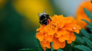 Bumble bee by Bilut