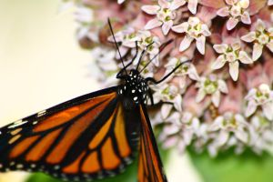 Monarch on Milkweed 4 by S-H-Photography
