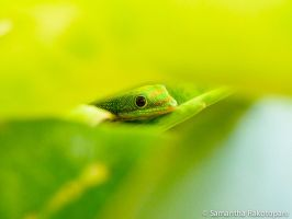 Gold dust day gecko 21 by kitty974