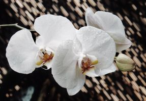 White Orchids by MarkieMarky