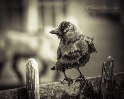 Wet Jackdaw by TammyPhotography