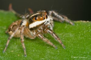 Jumping spider, side view by dllavaneras