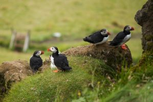 Puffins by Spacegryphon