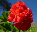 Red Geranium by Aussie-Blonde