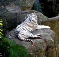 beautiful white tiger by TlCphotography730