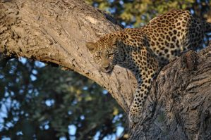 Leopard by XNikonD5000