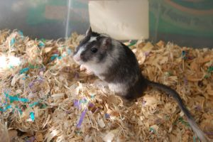 Gerbil Stock 01 by Jaded-Night-Stock
