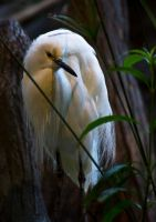 Snowy Egret 011 by ShineOverShadow