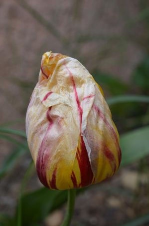 End of blooming of Tulip Breaking Virus by A1Z2E3R