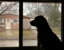Dog looking out the window by nwalter