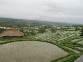 Rice fields 1 by Panopticon-Stock