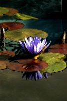Waterlily portrait by kayaksailor