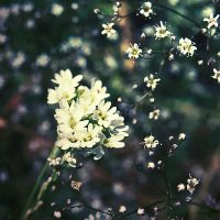 White Blooms by dosske
