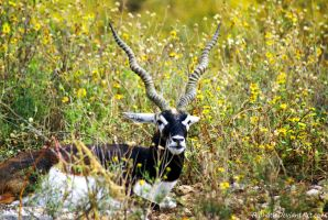 Blackbuck by Riphath