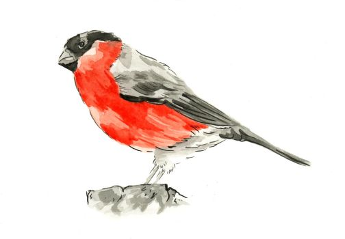 Bull Finch by Hummingbird26