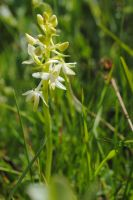 lesser butterfly-orchid by MesmerizedByNature
