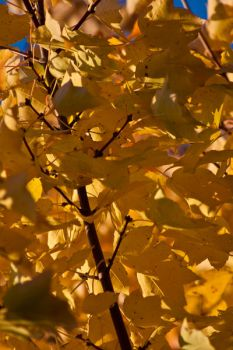 Yellow Leaves 2 by discordant-melody
