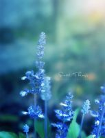 lavender .. by ST-ST
