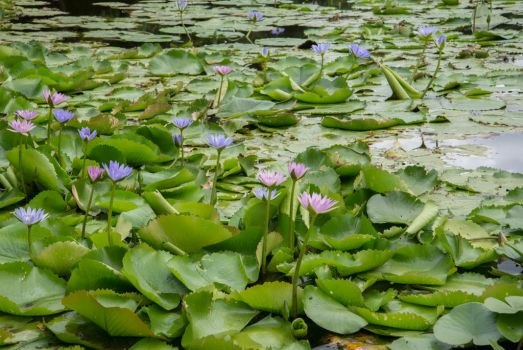 Water Lilies #1 by AmoretteRose