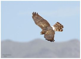 Northern harrier by PeterJCoskun