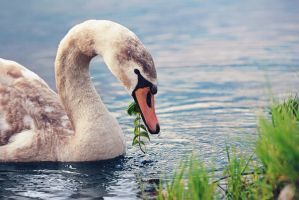 Young swan by Thunderi