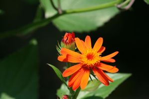 little orange flower 2 by ingeline-art