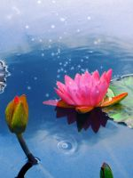 ++ waterlily +awakening by charmbuster