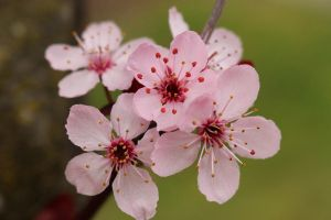 Stock- Cherry Blossoms by oasisoflight