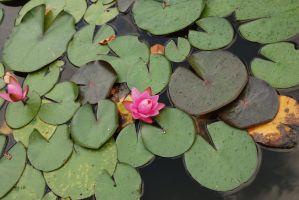 pink water lily by objekt-stock
