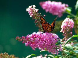 Monarch in the Park Revisited by Ken-Jones-Imagery