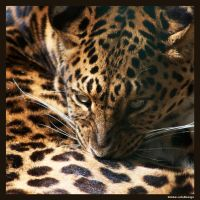 Lepard by Globaludodesign