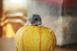 Baby hamster by Adela-F