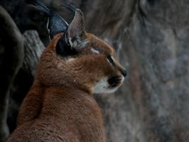 Tufted Ears - Caracal by roamingtigress