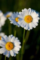 Oxeye daisy #2 by perost
