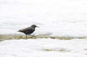 Common starling by GuillaumGibault