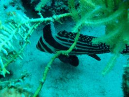 Spotted Drumfish by Zachg56