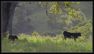 Cows 1 by Purple-Dragonfly-Art