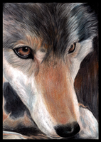 Color Pencil Wolf by mutt32