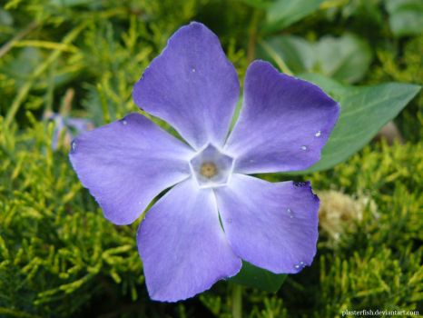 Lesser Periwinkle by JSmallDragon