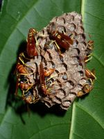 paper wasps by slmswim