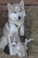 Husky and Pups by andykeen