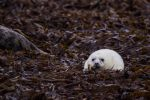 Baby Seal by Goldzwerg
