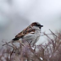 winter sparrow II by wolf-minori